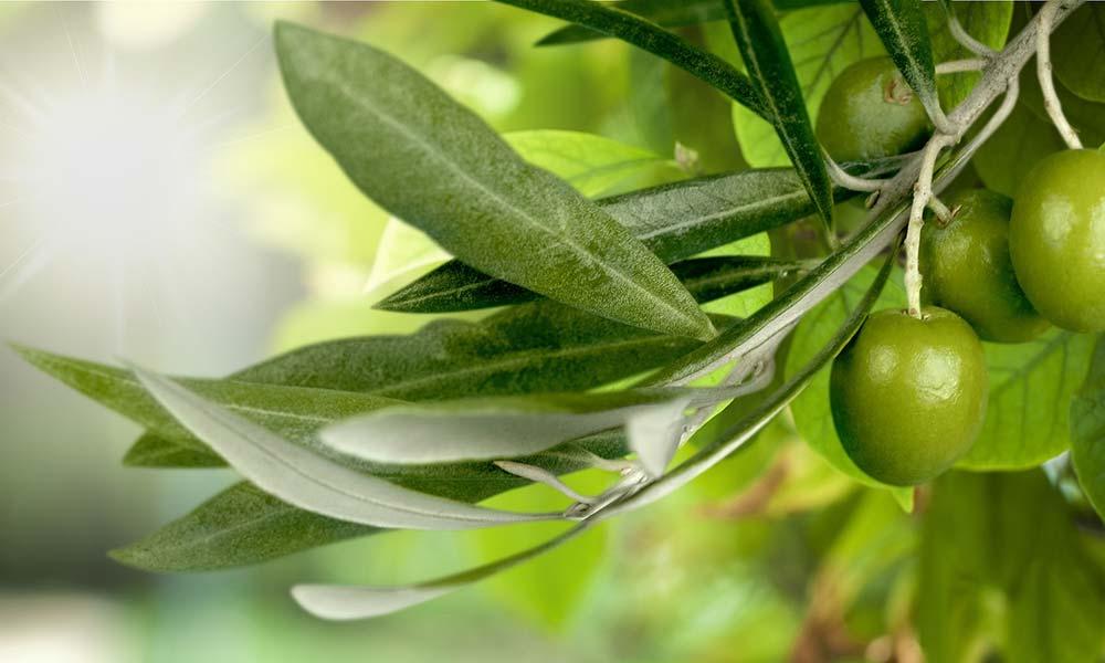 Olivenbaumblatt